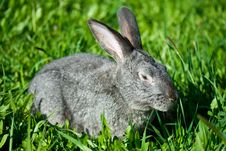 Free Gray Rabbit In Grass Royalty Free Stock Photo - 9338195