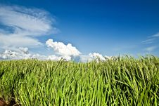 Free Asia Paddy Field Series 7 Royalty Free Stock Images - 9338459