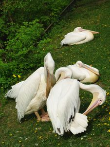 Free White Pelican Birds Royalty Free Stock Image - 9339086