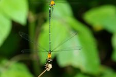 Free Damselfly Royalty Free Stock Photography - 9339387