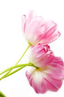 Free Pink Tulips Over White Royalty Free Stock Photo - 9339705