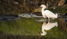 Free Snowy Egret Reflected In Water Royalty Free Stock Photography - 93339677
