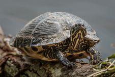 Free Sunbathing Turtle Stock Photography - 93339732