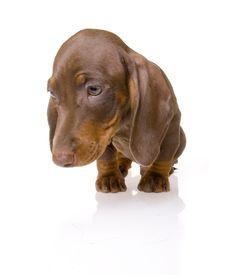 Dachshund Puppy Stock Photos
