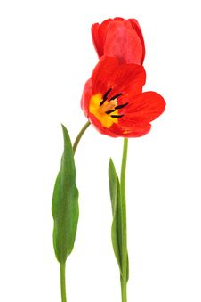 Free Red Tulips Royalty Free Stock Photos - 9341078
