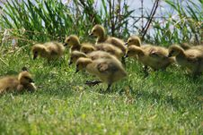 Free Goslings In The Grass Royalty Free Stock Images - 9341459