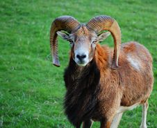 Free European Mouflon Sheep Royalty Free Stock Images - 9341559