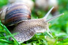 Snail On A Green Grass Stock Photography