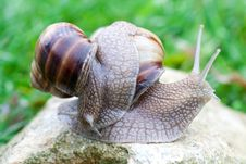 Snail On A Green Grass Royalty Free Stock Photo
