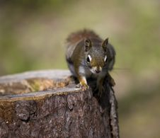 Free Squirrel On The Tree Royalty Free Stock Photos - 9343798