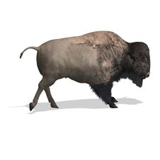 Free Wild West Bison Stock Photography - 9343922