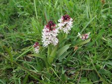 Free Burnt Orchid Stock Photo - 9344040