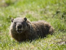 Free Open Mouth Marmot Stock Images - 9344044