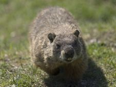 Free Walking Marmot Royalty Free Stock Image - 9344086