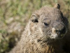 Free Sweet Marmot Looking Stock Images - 9344114