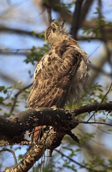 Free Red Tail Hawk Royalty Free Stock Photo - 9344175