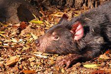 Tasmanian Devil, Australia Stock Photography