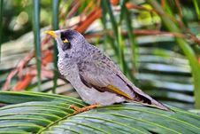 Free Noisy Miner Bird - Australian Native Honeyeater Stock Photo - 9344570