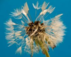 Free Fluffy Dandelion Royalty Free Stock Photo - 9346085