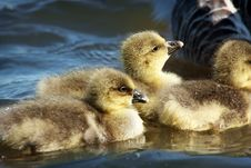 A Gaggle Of Greylag Goslings Royalty Free Stock Images