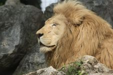 Free Lion Head Royalty Free Stock Image - 9346296