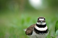 Free Killdeer Bird Royalty Free Stock Images - 9346489