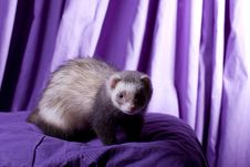 Free Latte The Ferret Stock Image - 9348751