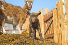 Free The Young  Goatling. Royalty Free Stock Photos - 9348898