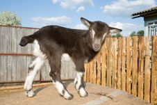 Free The Young  Goatling. Stock Image - 9349001