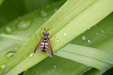 ( Chrysotoxum Cautum) The Striped Fly Royalty Free Stock Image