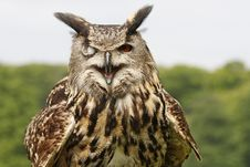 Free Eagle Owl Royalty Free Stock Photography - 9349287