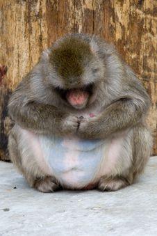 Free Macaca Fuscata Grey Japanese Monkey Royalty Free Stock Photo - 9349785