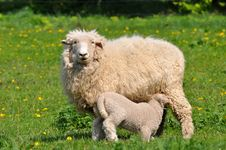 Free Lamb At Breast-feeding Stock Photo - 9349930