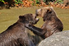 Free Brown Bears In Watering Place In Duel Stock Photography - 9349982