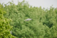 Free Arctic Tern Royalty Free Stock Images - 93433209