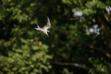 Free Arctic Tern Stock Image - 93433241