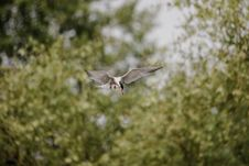 Free Arctic Tern Royalty Free Stock Images - 93433279