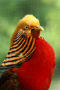 Free Golden Pheasant Stock Photography - 9353262