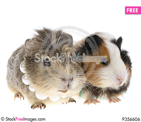 Funny guinea pig free stock photos images 9356606 for Free guinea pig stuff