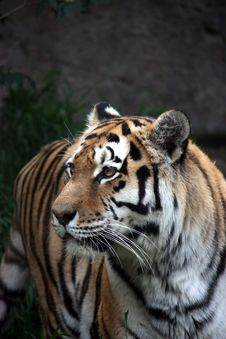 Free Siberian Tiger Royalty Free Stock Image - 9350966