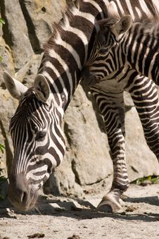 Free Zebra Stock Photography - 9353002