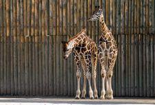 Free Giraffes Royalty Free Stock Image - 9353126