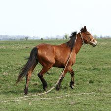 Free Trotting Horse Royalty Free Stock Photos - 9353878