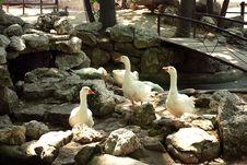 Free White Gooses On Stones Stock Photography - 9354022
