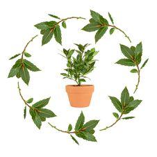 Bay Herb Royalty Free Stock Image