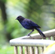 Free Blue Whistling Thrush Royalty Free Stock Photo - 9355025