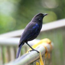 Free Blue Whistling Thrush Stock Photo - 9355140