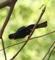 Free Black Bird Royalty Free Stock Images - 9355189