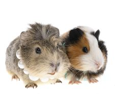 Free Funny Guinea Pig Royalty Free Stock Image - 9356606