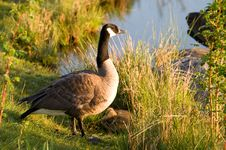 Mother Goose Watches Over Her Two Goslings. Stock Photo